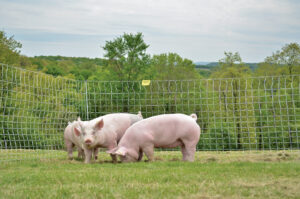 NPCW_pigs2_2014-1