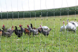 NPC_chickens4