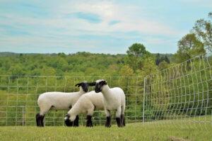 NSGW_sheep2_2014